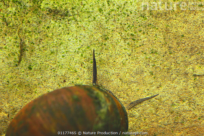Chinese mystery snail {Cipangopaludina chinensis malleata} female antennae, Wakayama, Japan  ,  ASIA,FEMALES,FRESHWATER,GASTROPODS,INVERTEBRATES,JAPAN,MOLLUSCS,SNAILS,UNDERWATER  ,  Nature Production