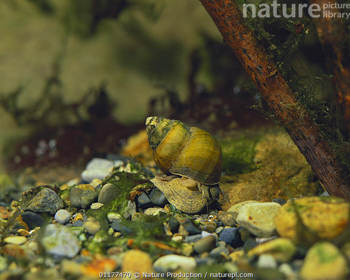 River snail {Sinotaia quadrata histrica} female on river bed, Japan  ,  ASIA,FEMALES,FRESHWATER,GASTROPODS,INVERTEBRATES,JAPAN,MOLLUSCS,RIVER SNAILS,RIVERS,TEMPERATE,UNDERWATER  ,  Nature Production