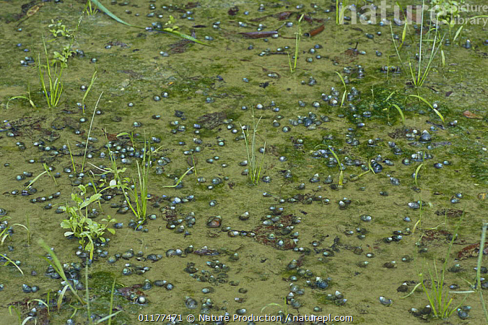 Swarm of River snails {Sinotaia quadrata histrica} in a fallow field, Japan  ,  ASIA,FRESHWATER,GASTROPODS,GROUPS,INVERTEBRATES,JAPAN,MOLLUSCS,RIVER SNAILS  ,  Nature Production