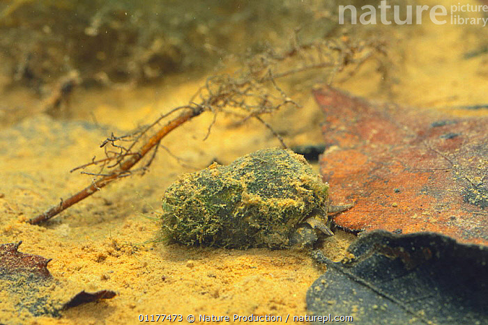 River snail {Sinotaia quadrata histrica} covered in detritus on river bed, Japan  ,  ASIA,CAMOUFLAGE,FRESHWATER,GASTROPODS,INVERTEBRATES,JAPAN,MOLLUSCS,RIVER SNAILS,RIVERS,TEMPERATE,UNDERWATER  ,  Nature Production