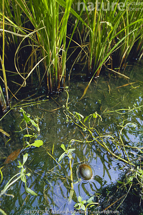 Apple Snail {Pomacea canaliculata} swimming in rice field, Japan  ,  ASIA,BEHAVIOUR,CROPS,FRESHWATER,GASTROPODS,INVERTEBRATES,JAPAN,MOLLUSCS,SNAILS,TEMPERATE,VERTICAL  ,  Nature Production