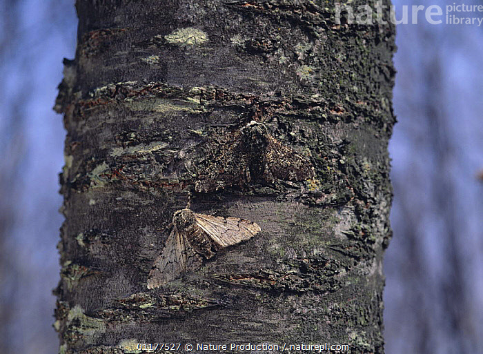 Moth {Biston robustus} black colour phase and white cololur phase resting on tree trunk, Japan  ,  ASIA,BARK,CAMOUFLAGE,COLOUR DIMORPHISM,INSECTS,INVERTEBRATES,JAPAN,LEPIDOPTERA,MOTHS,TWO,Plants  ,  Nature Production
