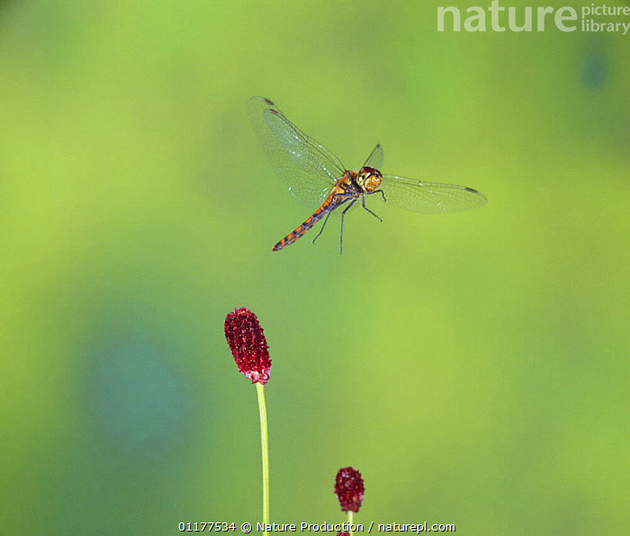 Common Skimmer {Sympetrum frequens} flying, Japan  ,  ASIA,BEHAVIOUR,DRAGONFLIES,INSECTS,INVERTEBRATES,JAPAN,ODONATA,SKIMMERS,WINGS  ,  Nature Production