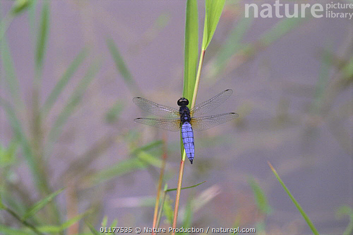 Dragonfly {Lyriothemis pachygastra} male, Japan  ,  ASIA,DRAGONFLIES,INSECTS,INVERTEBRATES,JAPAN,ODONATA  ,  Nature Production