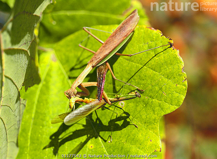 Chinese Mantid {Tenodera aridifolia} female eating female, Japan, October  ,  AGGRESSION,ARTHROPODS,ASIA,BEHAVIOUR,CANNIBALISM,FEMALES,INSECTS,INVERTEBRATES,JAPAN,MANTIDS,MANTODEA,TWO,Concepts  ,  Nature Production