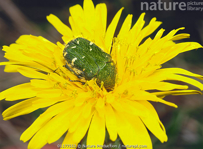 Flower Chafer {Oxycetonia jucunda} feeding from flower, Japan  ,  ASIA,BEETLES,BEHAVIOUR,CHAFERS,COLEOPTERA,FLOWERS,INSECTS,INVERTEBRATES,JAPAN,POLLEN,YELLOW  ,  Nature Production