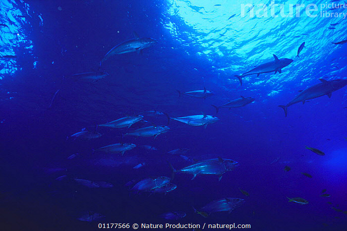Dogtooth Tuna {Gymnosarda / Orcynopsis unicolor} shoal migrating, Ogasawara Islands, Tokyo, Japan, July 1997  ,  ASIA,FISH,GROUPS,JAPAN,MARINE,MIGRATION,OSTEICHTHYES,PACIFIC,TEMPERATE,TUNA,UNDERWATER,VERTEBRATES  ,  Nature Production