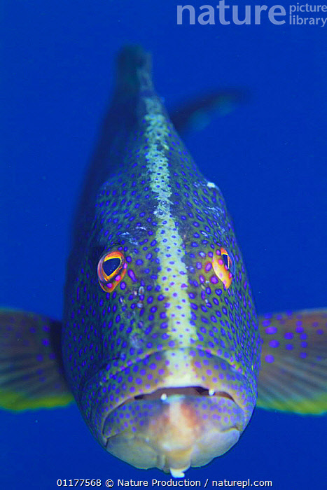 Lunar tailed rod / Yellow-tailed Croissant / Coronation Cod {Variola louti} front face, close-up, Ogasawara Islands, Tokyo, Japan, June  ,  ASIA,BASS,EYES,FACES,FISH,JAPAN,MARINE,MOUTHS,OSTEICHTHYES,PACIFIC,PORTRAITS,TROPICAL,UNDERWATER,VERTEBRATES,VERTICAL  ,  Nature Production