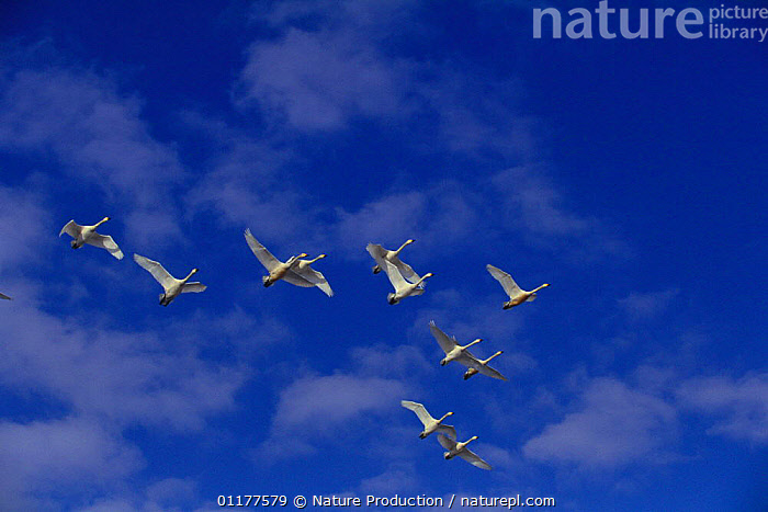 Flock of Bewick's / Tundra Swans {Cygnus columbianus bewickii} flying, Japan, March  ,  ASIA,BEHAVIOUR,BIRDS,ELEVEN,FLOCKS,FLYING,GROUPS,JAPAN,SWAN,SWANS,VERTEBRATES,WATERFOWL,Wildfowl, Waterfowl  ,  Nature Production