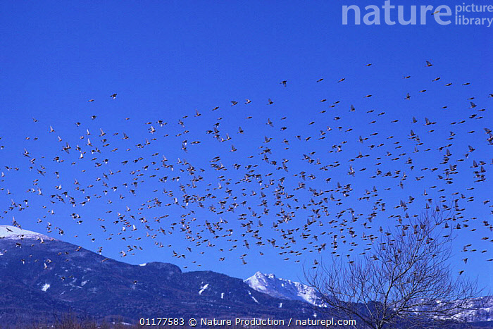 Large flock of Rosy-Finch {Leucosticte arctoa} flying, Yatsugatake, Nagano, Japan, January  ,  ASIA,BEHAVIOUR,BIRDS,FINCHES,FLOCKS,GROUPS,JAPAN,VERTEBRATES,WINTER  ,  Nature Production