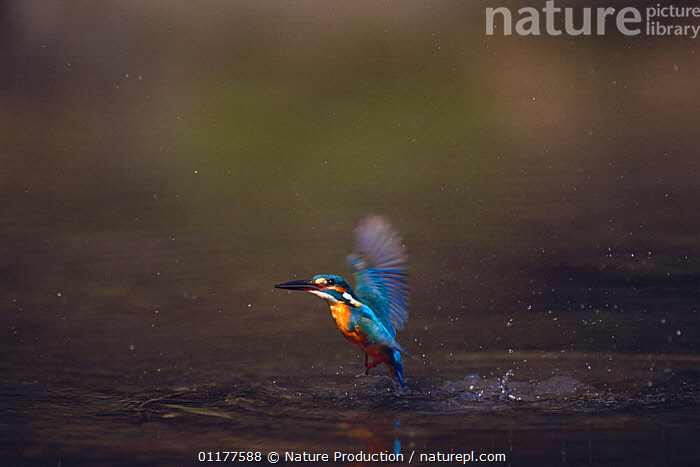 Common kingfisher {Alcedo atthis} flying up out of the water after a dive, Japan, March  ,  ASIA,BEHAVIOUR,BIRDS,FISHING,FLYING,JAPAN,KINGFISHERS,VERTEBRATES  ,  Nature Production