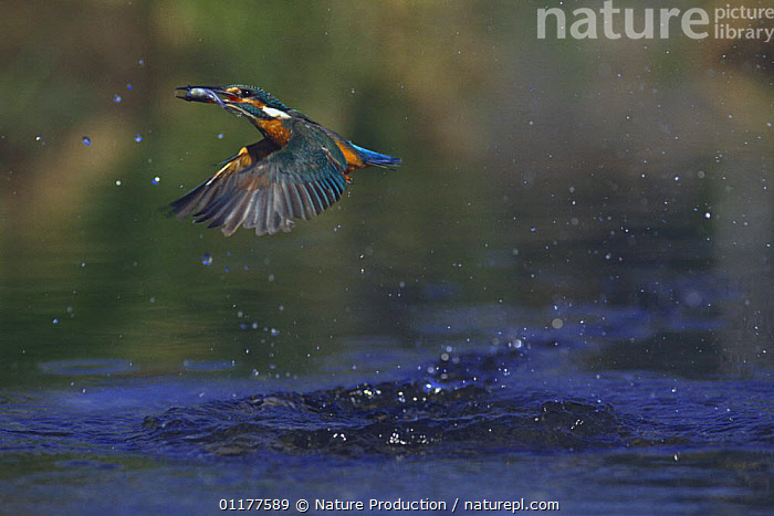 Common kingfisher {Alcedo atthis} flying away from water with fish in beak, Japan, March  ,  ASIA,BEHAVIOUR,BIRDS,FEEDING,FLYING,JAPAN,KINGFISHERS,VERTEBRATES  ,  Nature Production