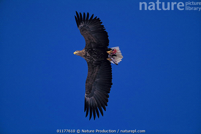 White tailed sea eagle {Haliaeetus albicilla} flying carrying fish in claws, Shiretoko Peninsula, Hokkaido, Japan, January  ,  ASIA,BIRDS,BIRDS OF PREY,CUTOUT,EAGLES,LOW ANGLE SHOT,JAPAN,SILHOUETTES,VERTEBRATES,WINGS,Raptor ,low angle  ,  Nature Production