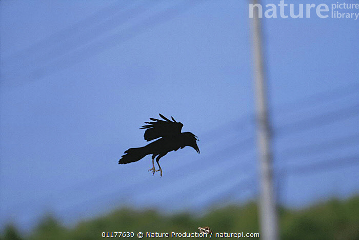 Carrion crow {Corvus corone} flying and dropping Whelk {Neptunea polycostata} on to road to break shell as it hits the ground, Japan, May, sequence 2/3  ,  ASIA,BEHAVIOUR,BIRDS,CORVIDS,CROWS,FEEDING,FLYING,INTELLIGENCE,JAPAN,MOLLUSCS,VERTEBRATES,Invertebrates  ,  Nature Production