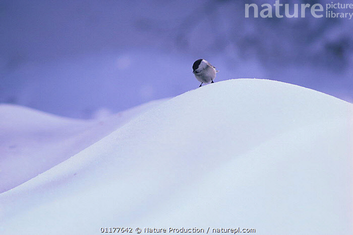 Willow Tit {Poecile montanus} perched on snow, Japan, February  ,  arty, ASIA, BIRDS, COLD, JAPAN, TITS, VERTEBRATES, WINTER  ,  Nature Production