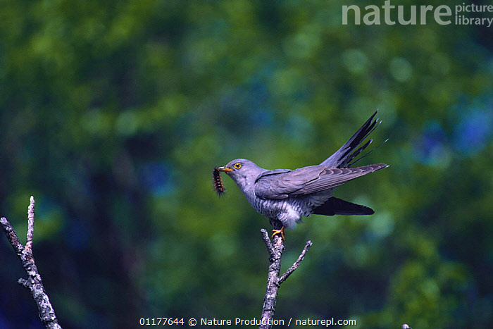 Common Cuckoo {Cuculus canorus} with caterpiller prey, Japan, May  ,  ASIA,BEHAVIOUR,BIRDS,CUCKOOS,FEEDING,HAIRY,INSECTS,JAPAN,LARVAE,LEPIDOPTERA,VERTEBRATES,Invertebrates  ,  Nature Production