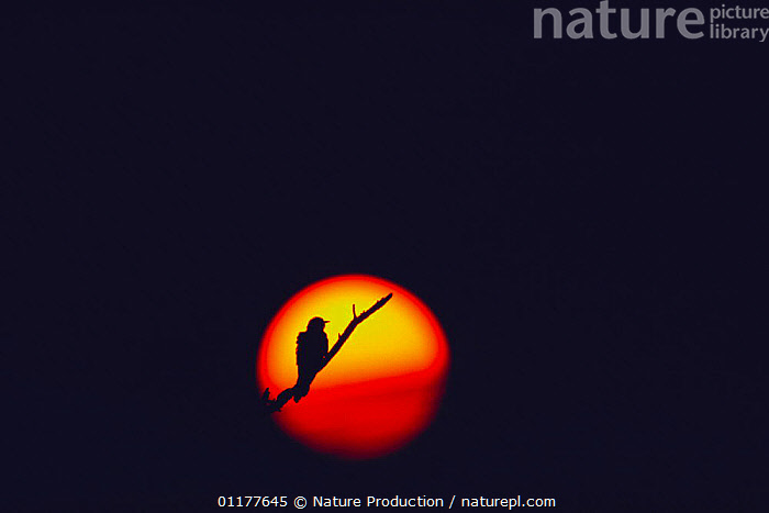 Common Cuckoo {Cuculus canorus} silhouette against setting sun, Japan, June  ,  ARTY,ASIA,BIRDS,CIRCLE,CUCKOOS,JAPAN,SILHOUETTES,VERTEBRATES  ,  Nature Production