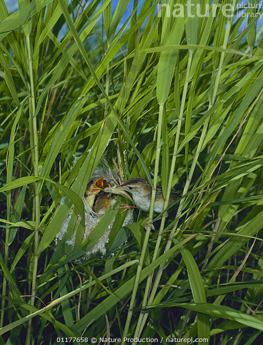 Fan tailed warbler {Cisticola juncidis} feeding chicks at nest in reeds, Japan, June  ,  ASIA,BEHAVIOUR,BIRDS,CUTE,GRASSES,JAPAN,NESTS,REEDS,VERTEBRATES,VERTICAL,WARBLERS  ,  Nature Production