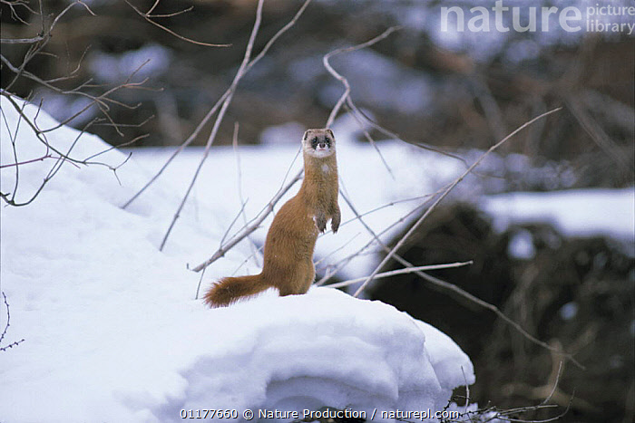 Japanese Weasel {Mustela itatsi} standing up in snow, Japan, February  ,  ASIA,CARNIVORES,JAPAN,MAMMALS,MUSTELIDS,PORTRAITS,VERTEBRATES,WEASELS,WINTER  ,  Nature Production