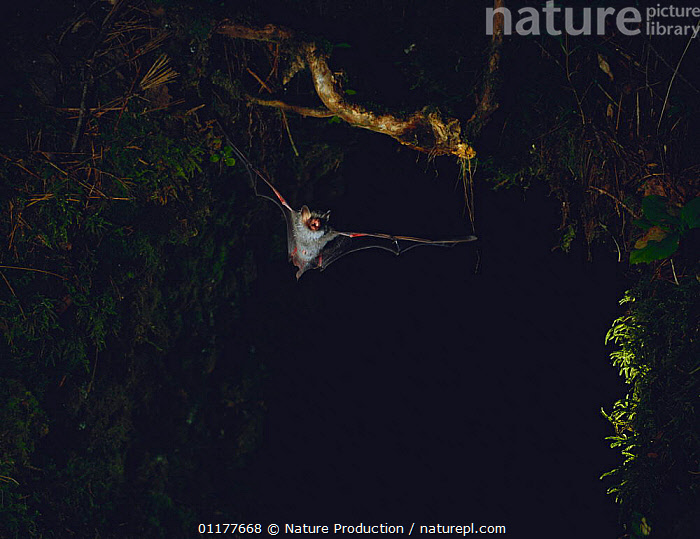 Ussuri Tube-nosed Bat {Murina ussuriensis silvatica} flying at night, Okutama, Tokyo, Japan, August  ,  ASIA,BATS,BEHVIOUR,CHIROPTERA,FLYING,JAPAN,MAMMALS,NOCTURNAL,VERTEBRATES  ,  Nature Production