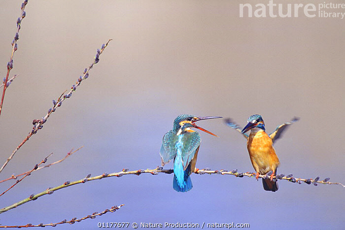 Common Kingfisher {Alcedo atthis} pair in courtship display, Tama River, Tokyo, Japan, March  ,  ASIA,BIRDS,FLAPPING,INTERACTION,JAPAN,KINGFISHERS,MALE FEMALE PAIR,MATING BEHAVIOUR,TWO,VERTEBRATES,Reproduction  ,  Nature Production