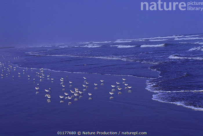Flock of Sanderling {Calidris alba} at water's edge, Kujukuri, Chiba, Japan, september  ,  ASIA,BEACHES,BIRDS,FLOCKS,GROUPS,JAPAN,LANDSCAPES,SANDPIPERS,SEA,VERTEBRATES,WADERS, Waders  ,  Nature Production