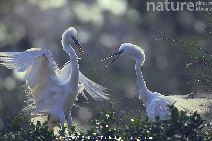 Great Egret {Casmerodius / Ardea alba} bring material to build nest, Kawasaki, Kanagawa, Japan, April  ,  ASIA, BEHAVIOUR, BIRDS, egretta alba, great white heron, HERONS, JAPAN, male female pair, nesting behaviour, NESTS, VERTEBRATES  ,  Nature Production