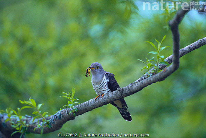 Little / Lesser / Small Cuckoo {Cuculus poliocephalus} with beak full of insect prey, Nagano, Japan, May  ,  ASIA,BIRDS,CATERPILLARS,CUCKOOS,FEEDING,INSECTS,JAPAN,LARVAE,PORTRAITS,VERTEBRATES,Invertebrates  ,  Nature Production
