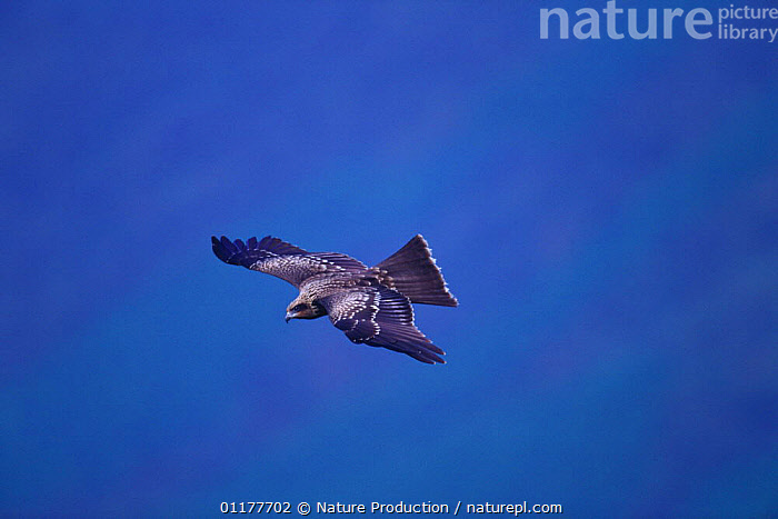 Black / Black-eared Kite {Milvus migrans / lineatus) flying, Tsushima, Nagasaki, Japan, September  ,  ASIA,BEHAVIOUR,BIRDS,BIRDS OF PREY,FLYING,JAPAN,KITES,VERTEBRATES  ,  Nature Production