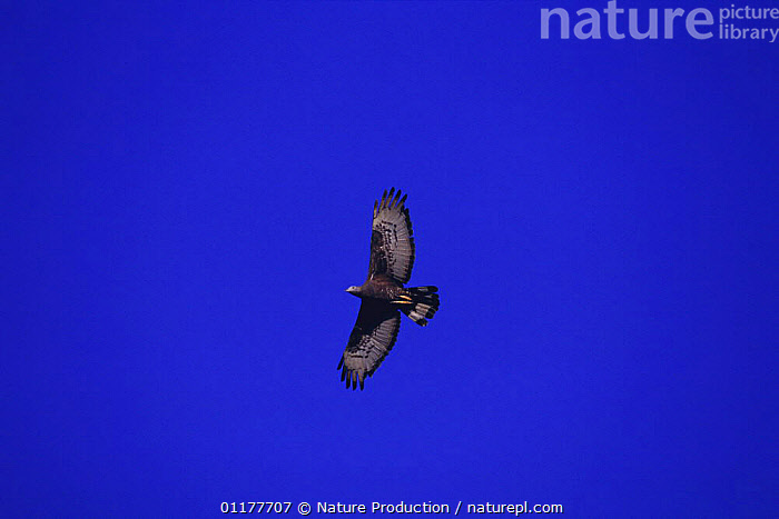 Oriental honey buzzard {Pernis ptilorhynchus} flying, Fukue Island, Nagasaki, Japan  ,  ASIA,BIRDS,BIRDS OF PREY,FLYING,LOW ANGLE SHOT,JAPAN,KITES,SILHOUETTES,VERTEBRATES,Hawks ,low angle  ,  Nature Production