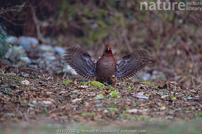 Copper Pheasant {Syrmaticus soemmerringii} male drumming display, Tosa, Kochi, Japan, March  ,  ASIA,BIRDS,COURTSHIP,JAPAN,MALES,MATING BEHAVIOUR,PHEASANTS,VERTEBRATES,WINGS,Reproduction  ,  Nature Production