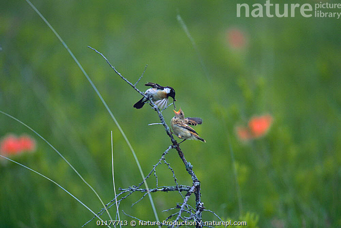 Stonechat {Saxicola torquatus} male feeding and chick, Nikko, Tochigi, Japan, June  ,  ASIA, BABIES, BIRDS, chats, CHICKS, FAMILIES, INTERESTING, JAPAN, MALES, parental behaviour, VERTEBRATES  ,  Nature Production