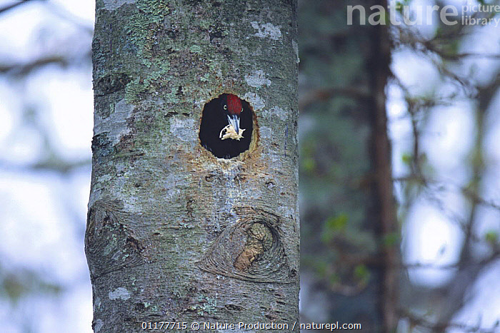 Black Woodpecker {Dryocopus martius} excavating a nest hole in tree trunk, Tomakomai, Hokkaido, Japan, May  ,  ASIA,BIRDS,JAPAN,MAKING,NESTING BEHAVIOUR,NESTS,TRUNKS,VERTEBRATES,VERTICAL,WOODPECKERS,Reproduction  ,  Nature Production