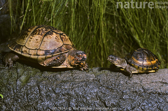 Three toed box turtle {Terrapene carolina triunguis} adult male with young, captive, from SE USA  ,  BABIES,CHELONIA,FAMILIES,MALES,NORTH AMERICA,POND TURTLES,REPTILES,USA,VERTEBRATES, Turtles  ,  Rod Williams