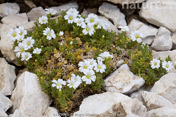 Thomas chickweed (Cerastium thomasii) amongst rocks. Endemic species of the Central Apennines. Gran Sasso, Italy.  ,  ALPINE,CARYOPHYLLACEAE,DICOTYLEDONS,ENDEMIC,EUROPE,FLOWERS,ITALY,PLANTS,Apennines,Appennines,  ,  Bruno D'Amicis