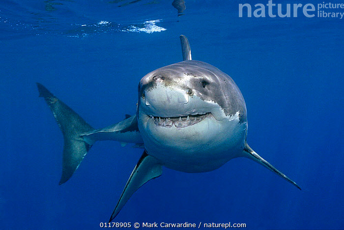 Great white shark (Carcharodon carcharias) underwater, Guadalupe Island, Mexico (North Pacific), CHRONDRICHTHYES,FISH,HUMOROUS,MARINE,MOUTHS,PACIFIC,SMILING,TEETH,TROPICAL,UNDERWATER,VERTEBRATES,Concepts,Sharks, Fish,Catalogue1, Mark Carwardine