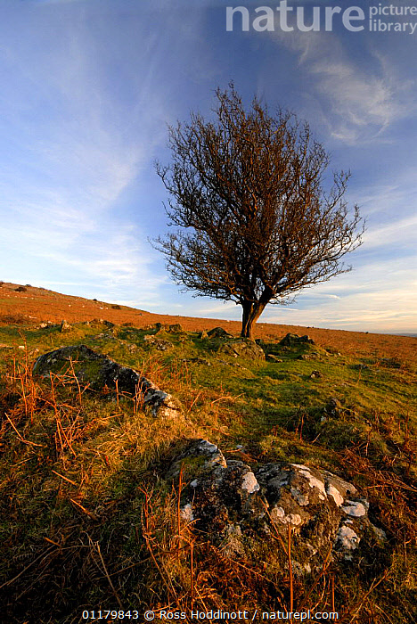 Tree in evening light near Merrivale, Dartmoor National Park, Devon. UK February 2007  ,  AUTUMN,CLOUDS,EUROPE,LANDSCAPES,MOORLAND,RESERVE,TREES,UK,VERTICAL,WINTER,United Kingdom,Weather,Plants,British,ENGLAND  ,  Ross Hoddinott