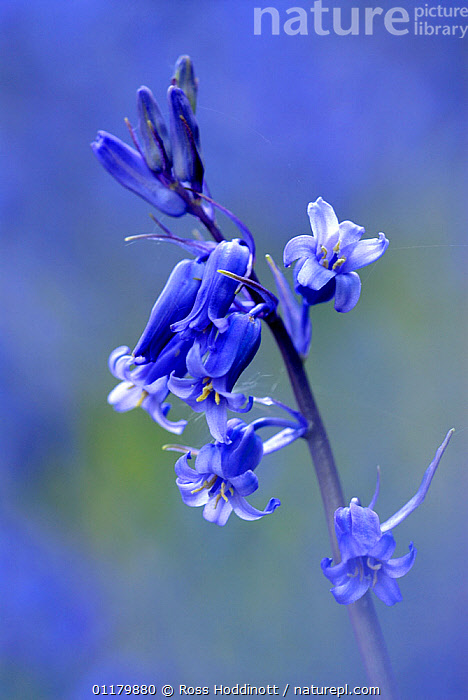 RF- Bluebell (Endymion / Hyacinthoides non-scripta),  Cornwall. UK. (This image may be licensed either as rights managed or royalty free.)  ,  BLUE,EUROPE,FLOWERS,LILIACEAE,MONOCOTYLEDONS,PLANTS,UK,VERTICAL RF16Q4,HYACINTHOIDES NON-SCRIPTA,Plant,Vascular plant,Flowering plant,Monocot,Bluebell,Plantae,Plant,Tracheophyta,Vascular plant,Magnoliopsida,Flowering plant,Angiosperm,Seed plant,Spermatophyte,Spermatophytina,Angiospermae,Asparagales,Monocot,Monocotyledon,Lilianae,Asparagaceae,Hyacinthoides,Bluebell,Hyacinthoides non-scripta,Common bluebell,English bluebell,Endymion non scriptus,Scilla non scripta,Endymion cernuus,Sadness,Colour,Blue,Nobody,Europe,Western Europe,UK,Great Britain,England,Cornwall,Copy Space,Close Up,Camera Focus,Soft Focus,Soft Focused,Flower,Stem,Day,Nature,Negative space,Flowerhead,RF,Royalty free,RFCAT1,RF16Q4,  ,  Ross Hoddinott