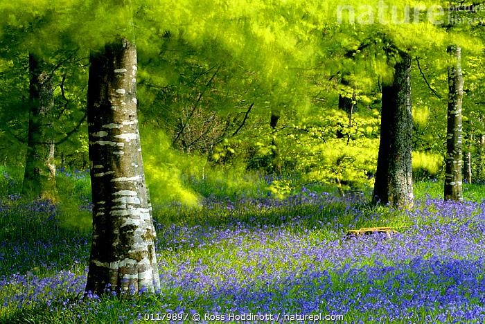 RF- Beech (Fagus) and Bluebell (Hyacinthoides non-scripta) woodland at Lanhydrock, Cornwall. UK. (This image may be licensed either as rights managed or royalty free.)  ,  carpets,LANDSCAPES,TREES,WOODLANDS,arty,BLUE,EUROPE,UK RF16Q4,ENGLAND,Plant,Vascular plant,Flowering plant,Rosid,Beech tree,Monocot,Bluebell,Plantae,Plant,Tracheophyta,Vascular plant,Magnoliopsida,Flowering plant,Angiosperm,Seed plant,Spermatophyte,Spermatophytina,Angiospermae,Fagales,Rosid,Dicot,Dicotyledon,Rosanae,Fagaceae,Fagus,Beech tree,Beech,Asparagales,Monocot,Monocotyledon,Lilianae,Asparagaceae,Hyacinthoides,Bluebell,Hyacinthoides non-scripta,Common bluebell,English bluebell,Endymion non scriptus,Scilla non scripta,Endymion cernuus,Romance,Romantic,Colour,Purple,Nobody,Luminosity,Bright,Brightness,Vivid,Vividness,Europe,Western Europe,UK,Great Britain,England,Cornwall,Camera Focus,Soft Focus,Soft Focused,Flower,Leaf,Foliage,Tree Trunk,Tree,Deciduous,Beech Tree,Beech Trees,Beeches,Sunlight,Spring,Day,Woodland,Arty shots,Forest,Natural Light,Dreamscape,RF,Royalty free,RFCAT1,RF16Q4,Tree,Trees  ,  Ross Hoddinott