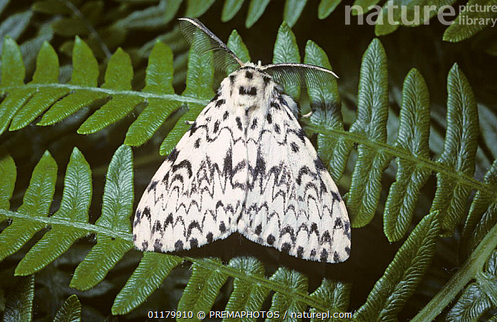 Black arches moth {Lymantria monacha} UK  ,  EUROPE,INSECTS,INVERTEBRATES,LEPIDOPTERA,LYMANTRIIDAE,MOTHS,NOCTUID MOTHS,UK,United Kingdom,British  ,  PREMAPHOTOS