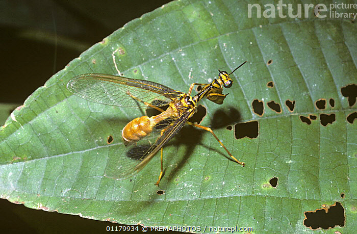 Mantis-fly {Climaciella sp} on leaf in rainforest, mimicking Paper wasp {Polistes sp.} Brazil  ,  HYMENOPTERA,INSECTS,INVERTEBRATES,MANTISPIDAE,MIMIC,MIMICRY,PAPER WASPS,WASPS  ,  PREMAPHOTOS