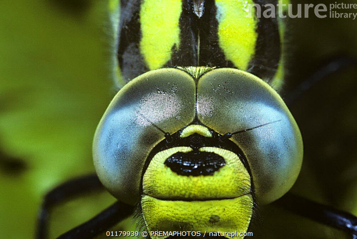 Southern hawker dragonfly male {Aeshna cyanea} close-up of compound eyes, UK, AESHNIDAE,ARTHROPODS,CLOSE UPS,DRAGONFLIES,EYES,FACES,INSECTS,INVERTEBRATES,MALES,ODONATA,PORTRAITS, PREMAPHOTOS