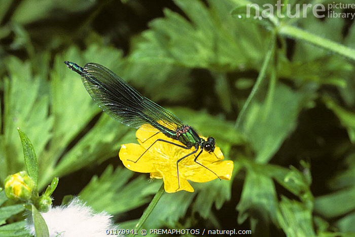 Banded demoiselle damselfly {Calopteryx / Agrion splendens} male, UK, ARTHROPODS, Calopterygidae, DAMSELFLIES, EUROPE, FLOWERS, INSECTS, INVERTEBRATES, MALES, ODONATA, UK,United Kingdom, PREMAPHOTOS