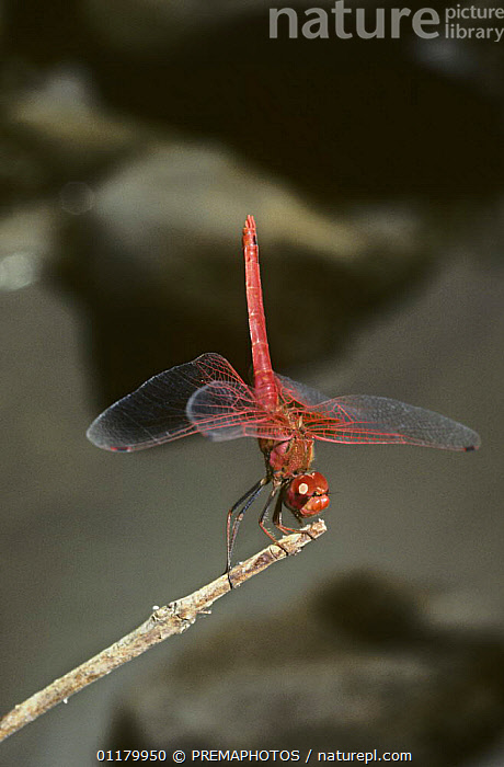 Male Darter dragonfly {Trithemis kirbyi} in obelisk position with tail pointing towards the sun to reduce heat absorption, India, ASIA,BEHAVIOUR,DRAGONFLIES,INDIA,INSECTS,INVERTEBRATES,LIBELLULIDAE,ODONATA,THERMOREGULATION,VERTICAL, PREMAPHOTOS