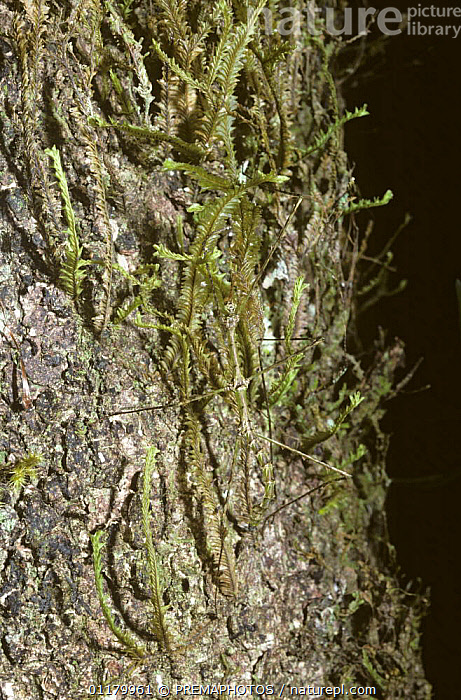 Stick insect / walkingstick (Circia sp.) mimicking moss on a treetrunk, in rainforest, Madagascar  ,  ARTHROPODS,CAMOUFLAGE,INSECTS,INVERTEBRATES,MADAGASCAR,MIMIC,MIMICRY,PHASMIDA,PHASMIDS,TROPICAL RAINFOREST,VERTICAL  ,  PREMAPHOTOS