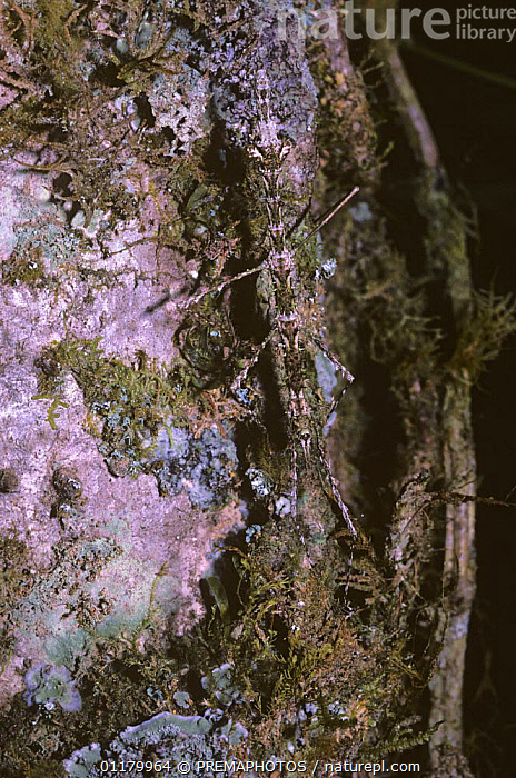 Stick insect / walkingstick (Circia sp.) spends the hours of daylight well camouflaged on tree trunks; in rainforest, Madagascar, ARTHROPODS,CAMOUFLAGE,INSECTS,INVERTEBRATES,MADAGASCAR,PHASMIDA,PHASMIDS,VERTICAL, PREMAPHOTOS