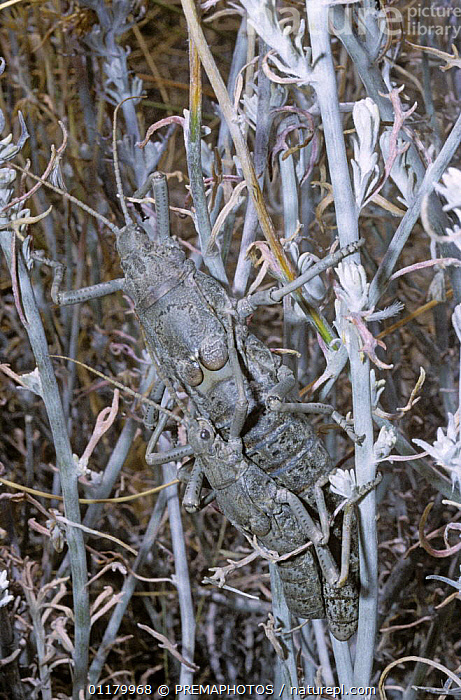Stick insect / walkingstick (Agathemera sp) mating pair, Argentina, ARGENTINA,CAMOUFLAGE,INSECTS,INVERTEBRATES,MALE FEMALE PAIR,MATING BEBAVIOUR,PHASMIDA,PHASMIDS,SOUTH AMERICA,VERTICAL,WALKINGSTICK INSECT, PREMAPHOTOS