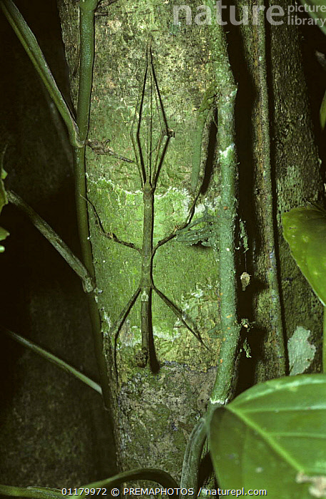 Walkingstick / Stick insect {Phasmid} female on tree trunk mimicking vine stems, Trinidad, ARTHROPODS,CAMOUFLAGE,CARIBBEAN,CLIMBERS,INSECTS,INVERTEBRATES,PHASMIDA,PHASMIDS,TRINIDAD,TROPICAL RAINFOREST,VERTICAL,West Indies,Plants, PREMAPHOTOS