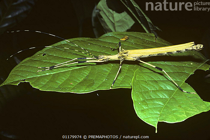 Stick insect / walkingstick (Stratocles sp.) female with large, yellow wings; in rainforest, Peru, CAMOUFLAGE, INSECTS, INVERTEBRATES, PHASMIDS, south america, STICK INSECTS, tropical rainforest, WALKING STICK, PREMAPHOTOS