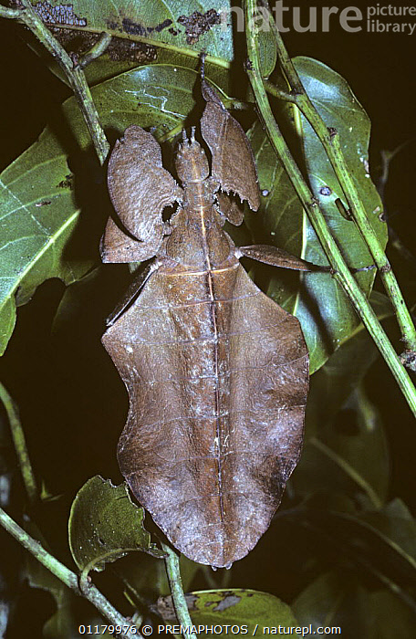 Leaf insect {Phyllium sp} female in rainforest, New Guinea, CAMOUFLAGE,FEMALES,INSECTS,INVERTEBRATES,LEAVES,MIMIC,MIMICRY,NEW GUINEA,PHASMIDA,PHASMIDS,VERTICAL, PREMAPHOTOS